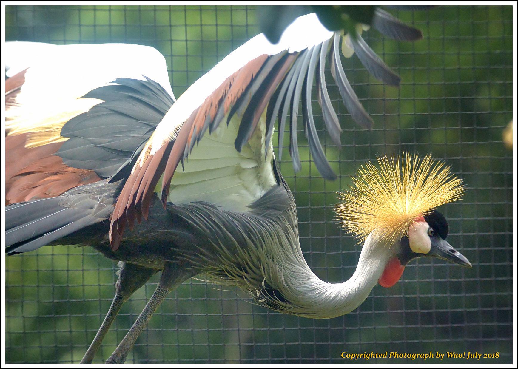 ホオジロカンムリヅル 野鳥園_c0198669_17235444.jpg