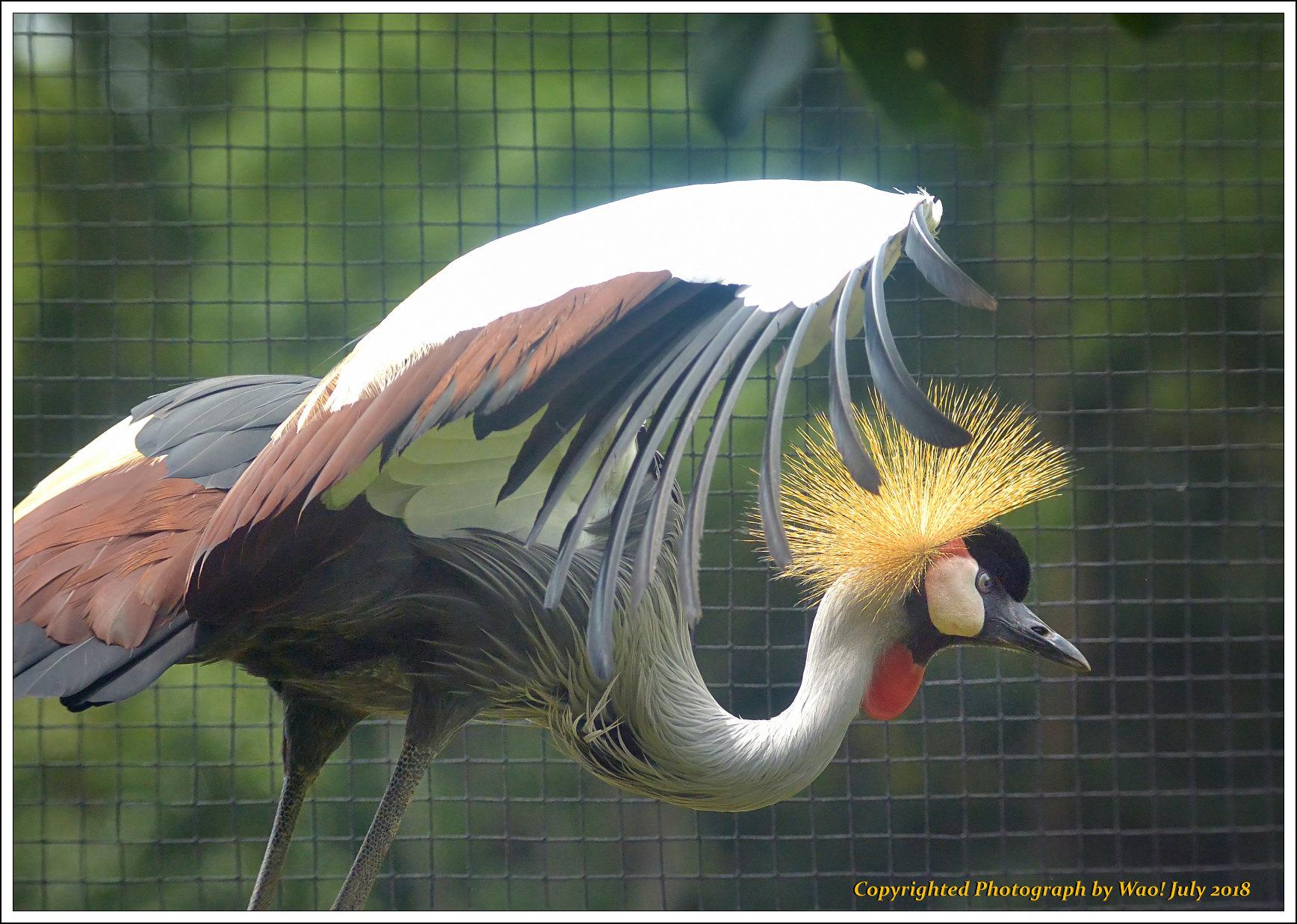 ホオジロカンムリヅル 野鳥園_c0198669_17240394.jpg