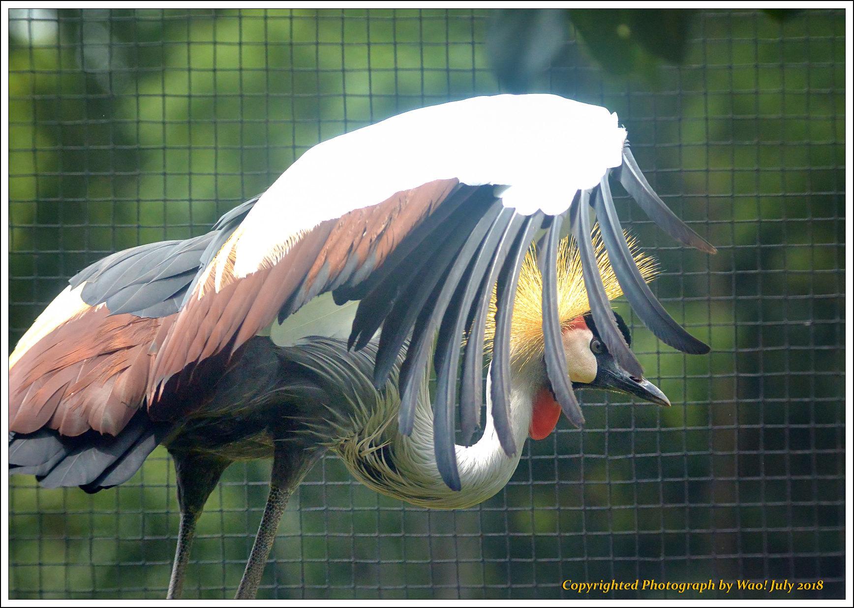 ホオジロカンムリヅル 野鳥園_c0198669_17250339.jpg