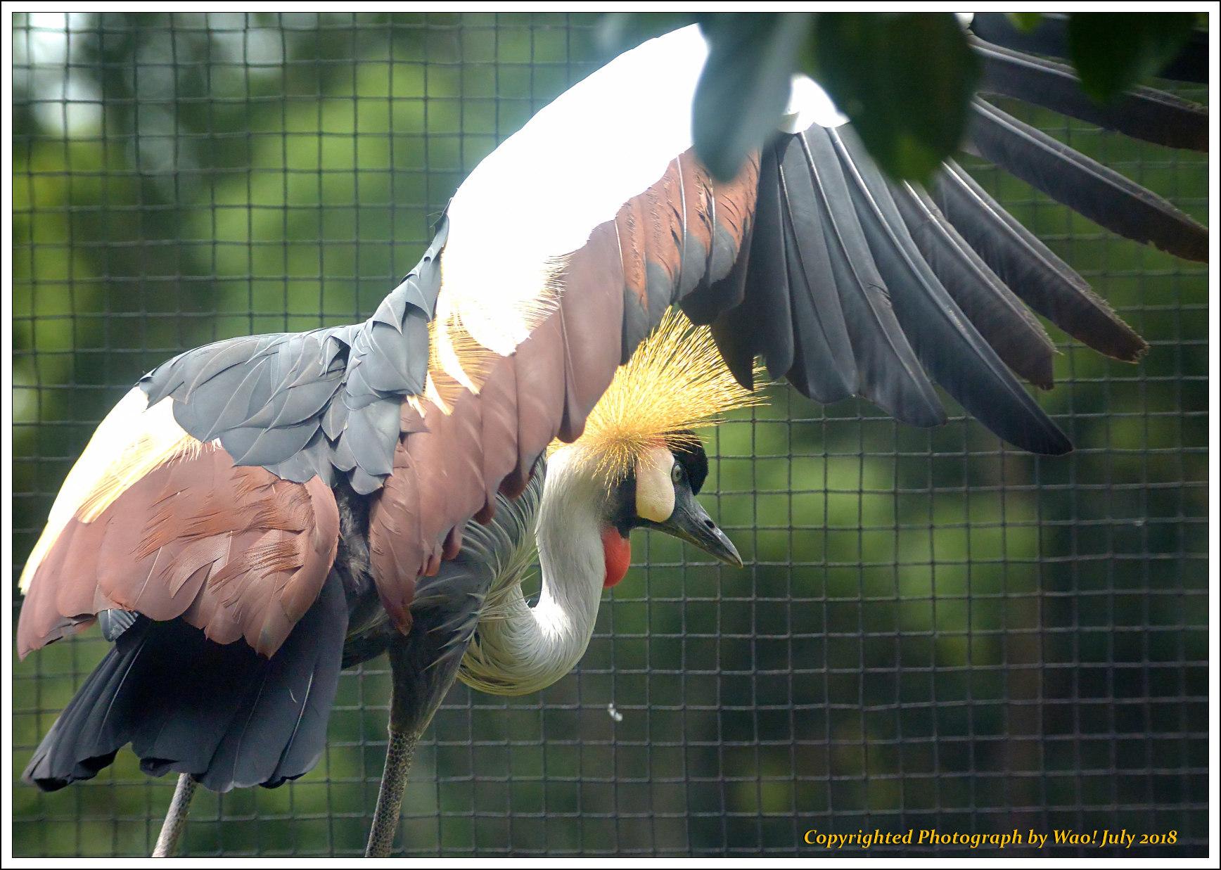 ホオジロカンムリヅル 野鳥園_c0198669_17251078.jpg