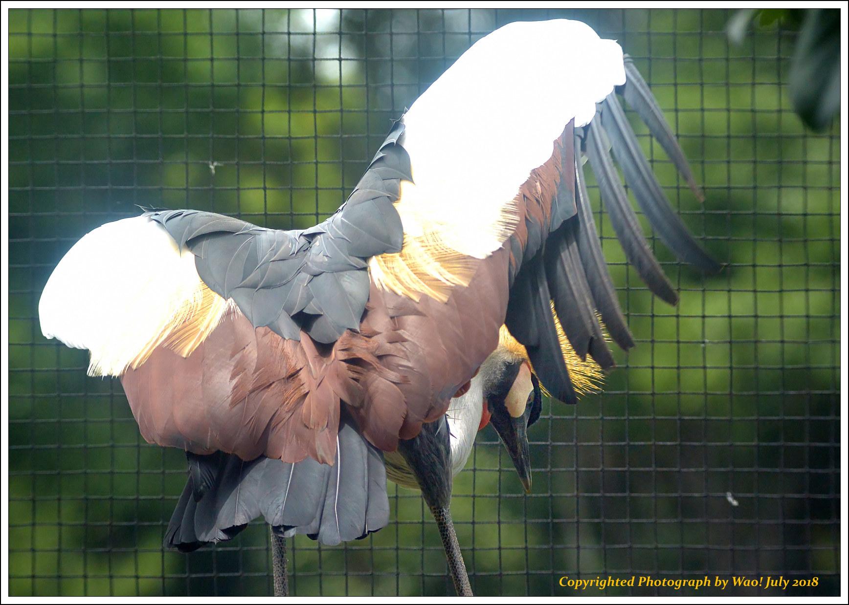 ホオジロカンムリヅル 野鳥園_c0198669_17251632.jpg