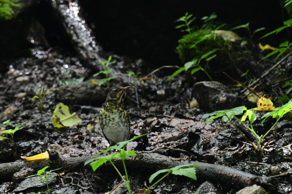 水場の鳥さん コガラ キビタキ クロツグミ_f0053272_21275596.jpg
