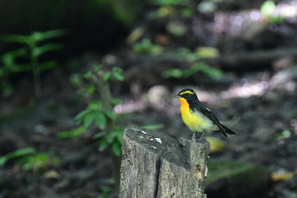水場の鳥さん コガラ キビタキ クロツグミ_f0053272_21281580.jpg