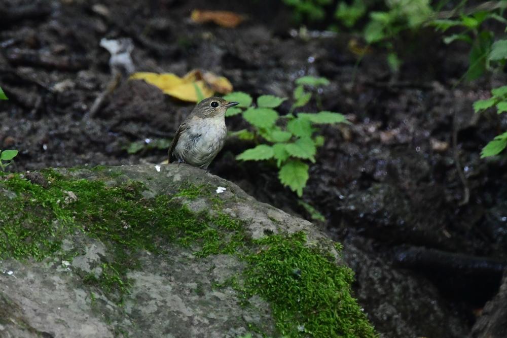 水場の鳥さん コガラ キビタキ クロツグミ_f0053272_21282007.jpg