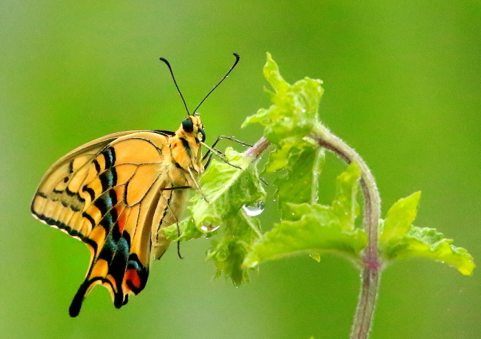 ナミアゲハ(Papilio xuthus)  そのⅠ_a0140608_07501285.jpg