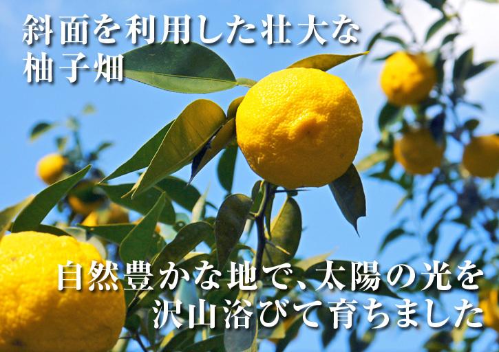 香り高き柚子(ゆず) 着果の様子を現地取材(2020) 今年もまずは青柚子を9月中旬からの出荷予定です!_a0254656_12213386.jpg