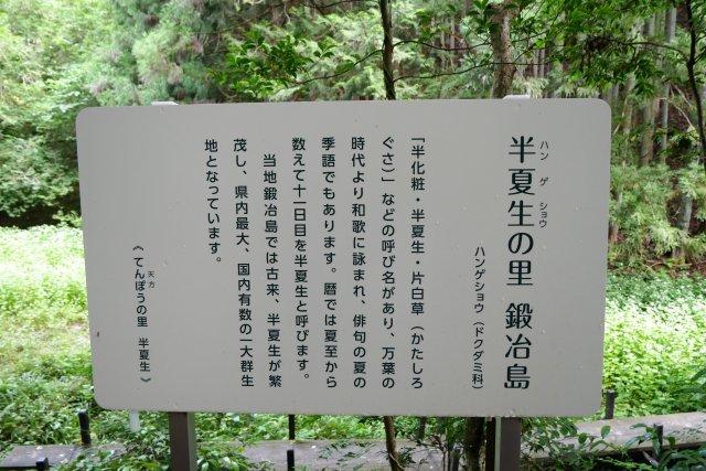 森町の半夏生(ハンゲショウ)_a0023397_08200760.jpg
