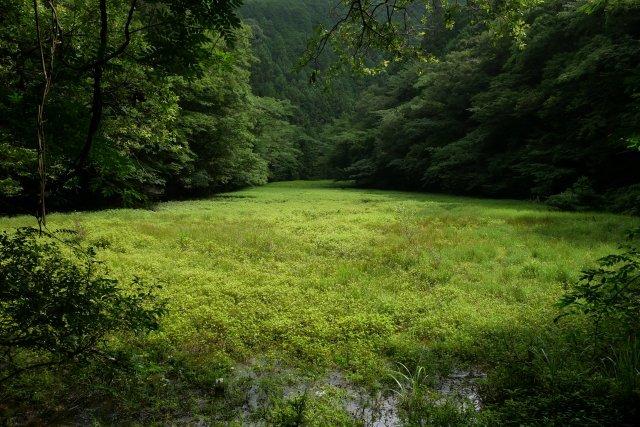 森町の半夏生(ハンゲショウ)_a0023397_08200775.jpg