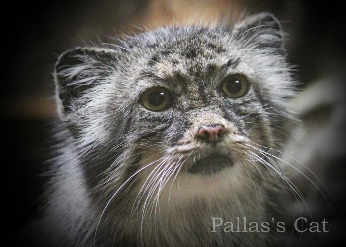 マヌルネコ:Pallas\'s Cat _b0249597_05554454.jpg