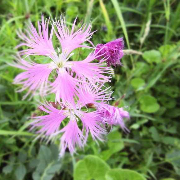 エゾカワラナデシコが咲き始めました!_f0354435_15030904.jpg
