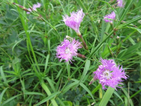 エゾカワラナデシコが咲き始めました!_f0354435_15050150.jpg