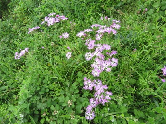 エゾカワラナデシコが咲き始めました!_f0354435_15062431.jpg