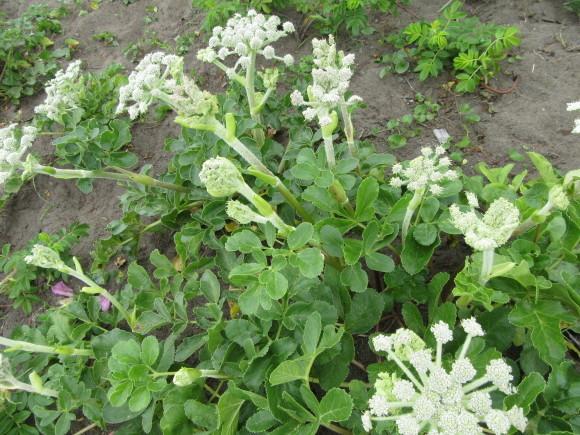 エゾカワラナデシコが咲き始めました!_f0354435_15145659.jpg