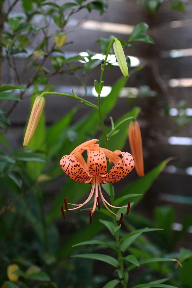 閻魔様の庭に咲いている百合かな ~オニユリ~_a0107574_16335160.jpg