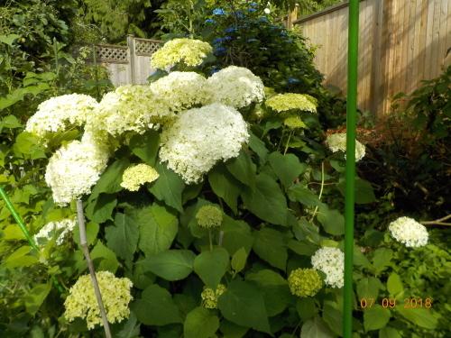 2018 年七月の庭の風景_a0173527_10414486.jpg