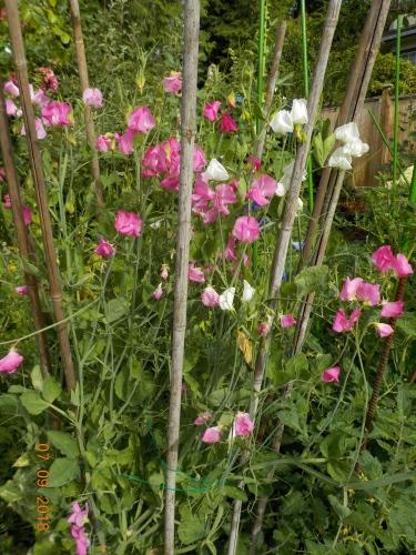 2018 年七月の庭の風景_a0173527_10460030.jpg