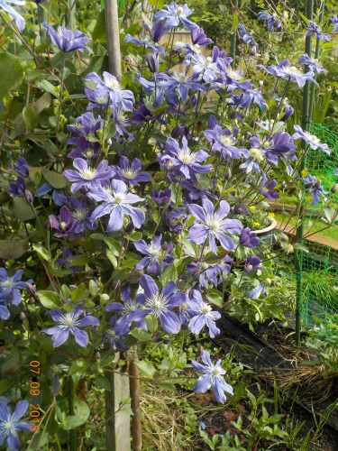 2018 年七月の庭の風景_a0173527_10503020.jpg