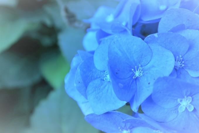 6月の青い花_e0348754_07551291.jpg