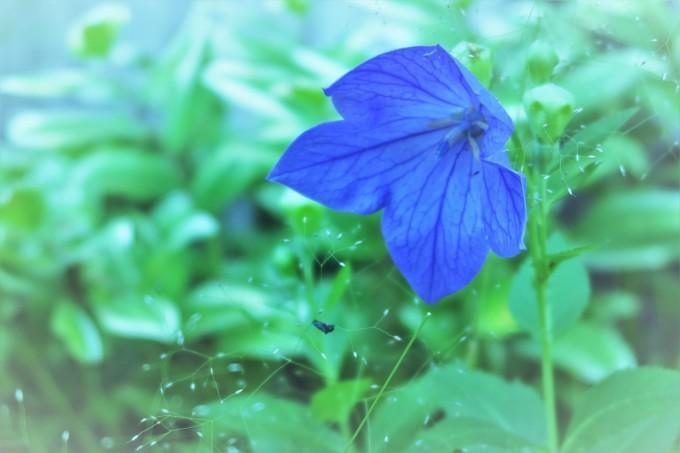 6月の青い花_e0348754_07571935.jpg