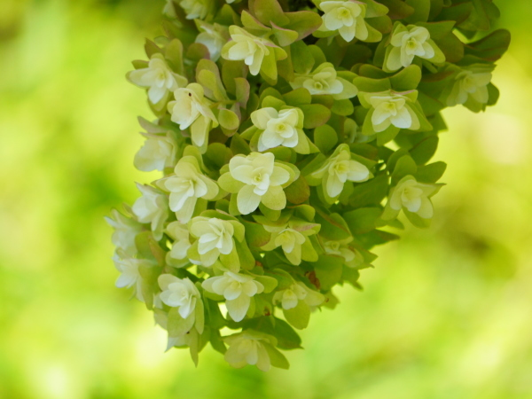 柏葉紫陽花と讃岐うどん_a0351368_22211593.jpg