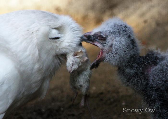 シロフクロウ:Snowy Owl_b0249597_17171983.jpg