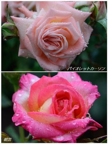 雨あがりのバラたち(2)_a0204089_21222850.jpg