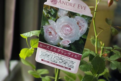 ローズ ドゥ グランヴィル という名のバラ。_c0334705_19021184.jpg