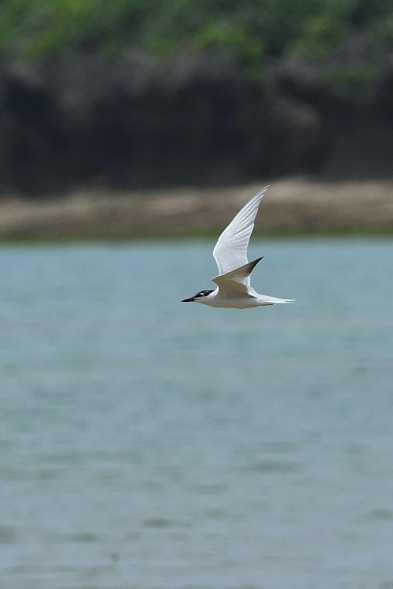 ハシブトアジサシ(Gull-billed Tern)/2018.06_b0148352_23113055.jpg