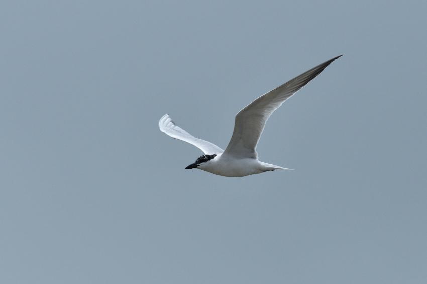 ハシブトアジサシ(Gull-billed Tern)/2018.06_b0148352_23113870.jpg