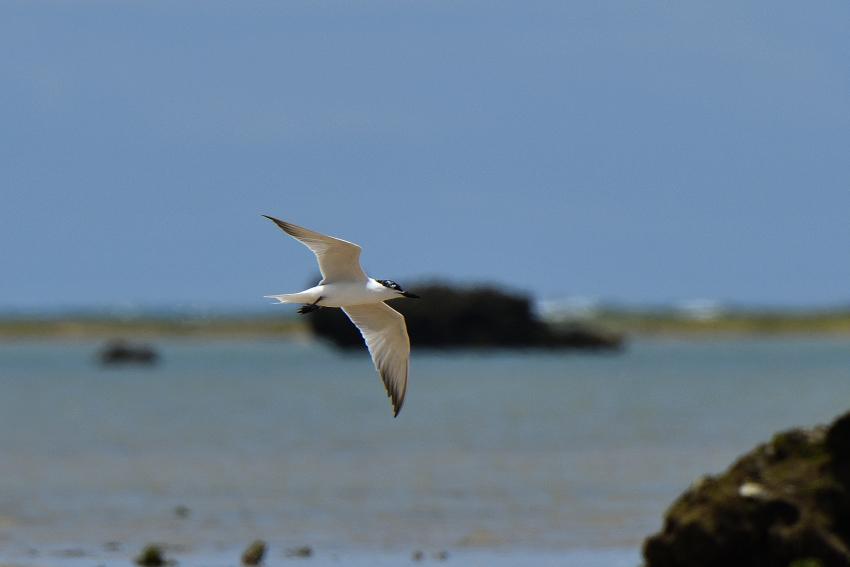 ハシブトアジサシ(Gull-billed Tern)/2018.06_b0148352_23114892.jpg