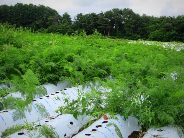 セルフ採り野菜&ラベンダー畑 @小諸_f0236260_23564803.jpg