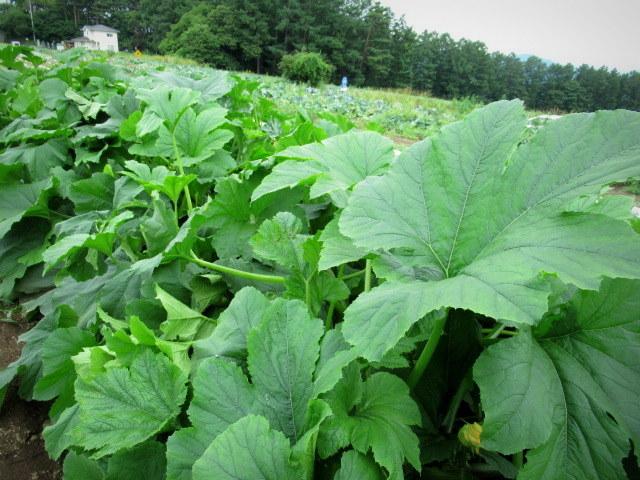 セルフ採り野菜&ラベンダー畑 @小諸_f0236260_23571802.jpg