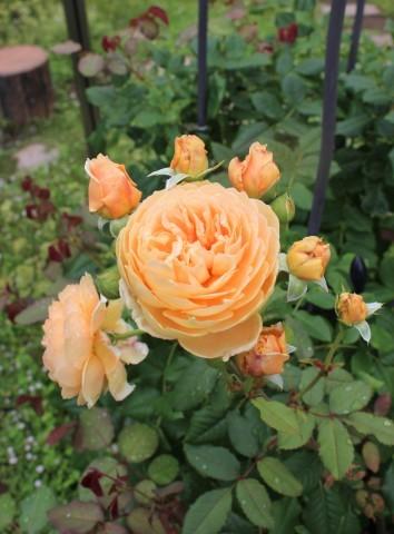 2番花やら切り戻し後やらの庭_e0341606_16071555.jpg