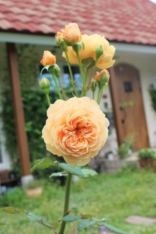 2番花やら切り戻し後やらの庭_e0341606_16090894.jpg