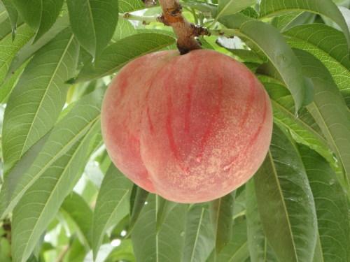 浅間白桃の収穫開始です_f0325525_23324084.jpg