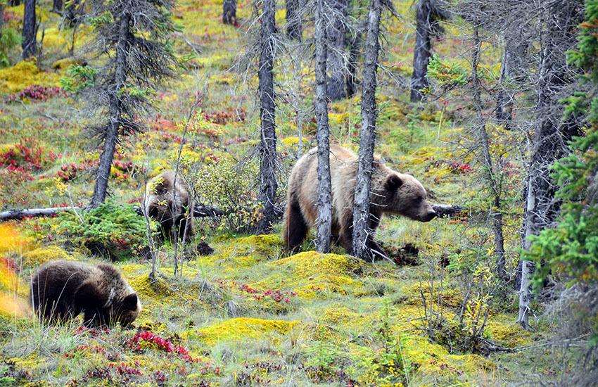 カナディアンロッキーに生息するクマを知ろう!_d0112928_02503237.jpg