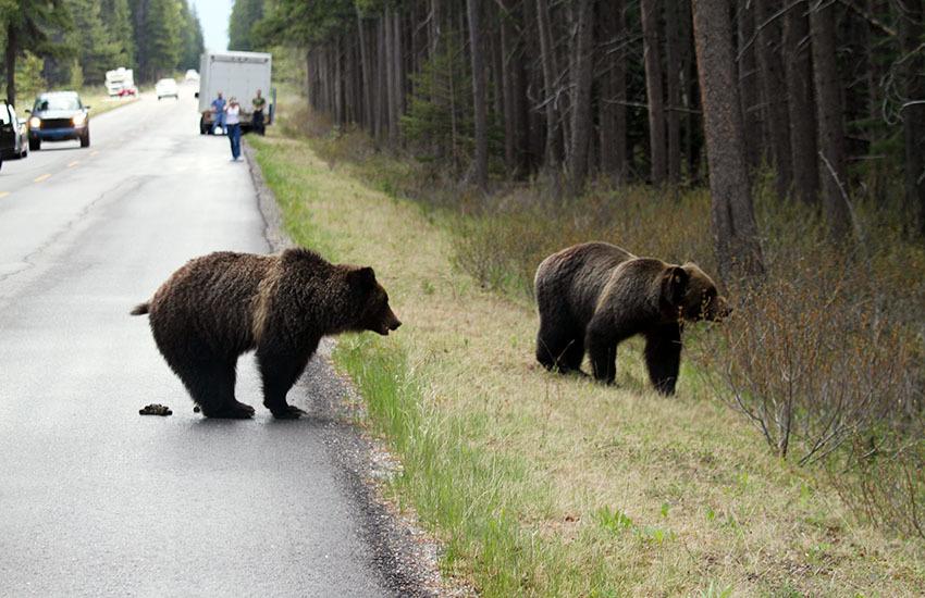 カナディアンロッキーに生息するクマを知ろう!_d0112928_02503271.jpg