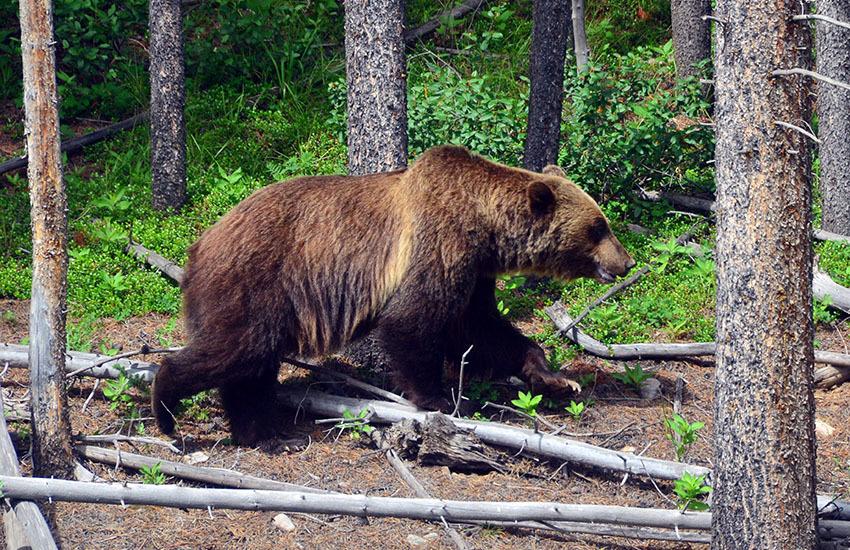 カナディアンロッキーに生息するクマを知ろう!_d0112928_02503321.jpg