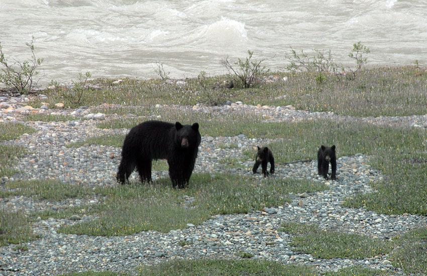 カナディアンロッキーに生息するクマを知ろう!_d0112928_02503383.jpg
