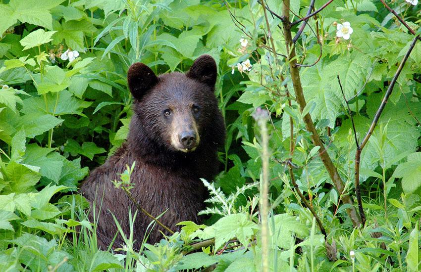 カナディアンロッキーに生息するクマを知ろう!_d0112928_05435631.jpg