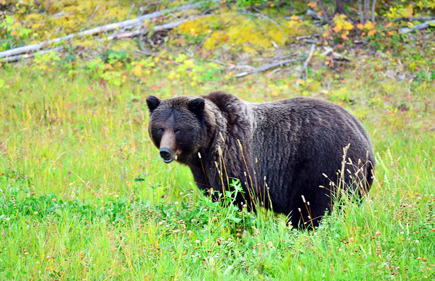 カナディアンロッキーに生息するクマを知ろう!_d0112928_05435728.jpg