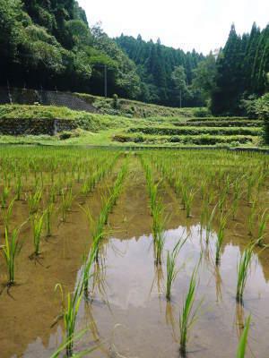 米作りへの挑戦! 田植え後の様子!ジャンボタニシは働き者!_a0254656_18331962.jpg
