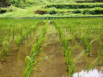 米作りへの挑戦! 田植え後の様子!ジャンボタニシは働き者!_a0254656_18531583.jpg