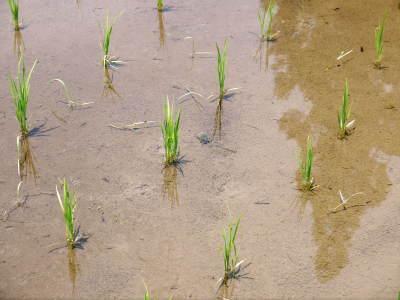 米作りへの挑戦! 田植え後の様子!ジャンボタニシは働き者!_a0254656_19212281.jpg
