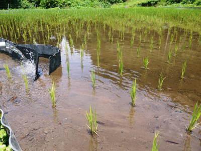 米作りへの挑戦! 田植え後の様子!ジャンボタニシは働き者!_a0254656_19255725.jpg
