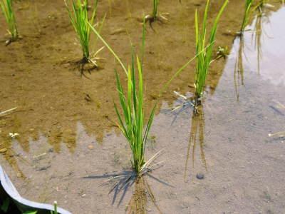 米作りへの挑戦! 田植え後の様子!ジャンボタニシは働き者!_a0254656_19311311.jpg