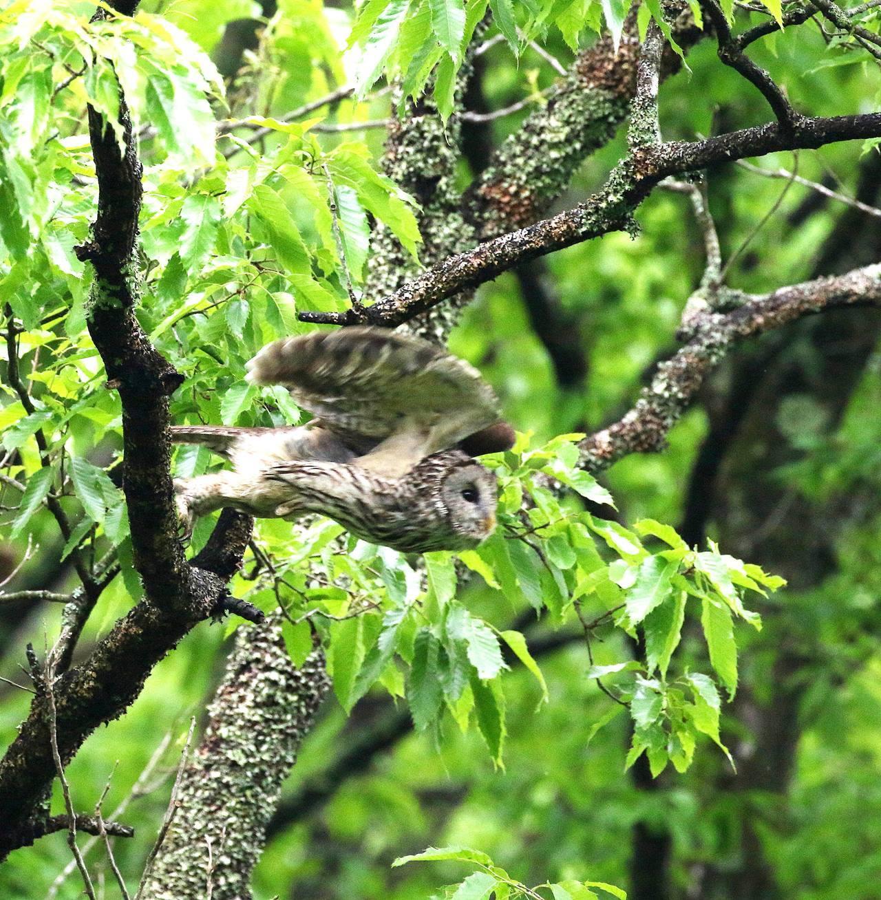 春先に出会ったフクロウを(その1)・・・_c0213607_18343906.jpg