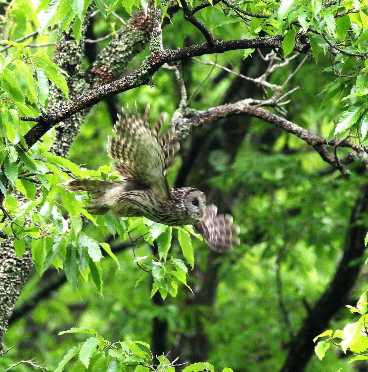 春先に出会ったフクロウを(その1)・・・_c0213607_18344332.jpg