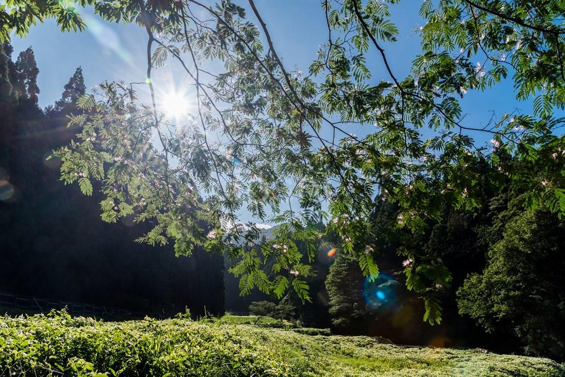 今年も半夏生が暑い_c0350572_21492306.jpg