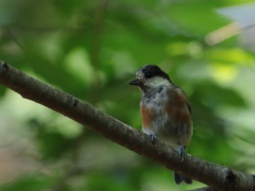 再訪 お山の軒先水場のヤマガラ幼鳥    KGK_d0346713_13505745.jpg